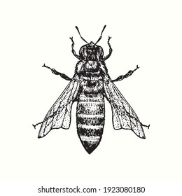 Honey bee worker, top view. Ink black and white drawing. Vector illustration