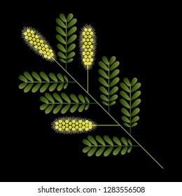 Honey Mesquite Branch. Prosopis glandulosa. Leaves and flowers. Vector illustration of geometric cartoon style