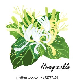 Honeysuckle (Lonicera  japonica). Hand drawn realistic vector illustration of honeysuckle flowers with leaves isolated on white background.