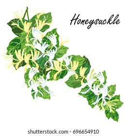 Honeysuckle (Lonicera  japonica). Hand drawn realistic vector illustration of honeysuckle branch with flowers isolated on white background.