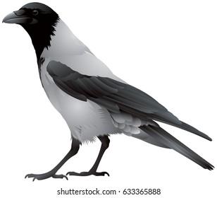 Hooded crow bird, also known locally as Scotch crow, Danish crow, grey crow