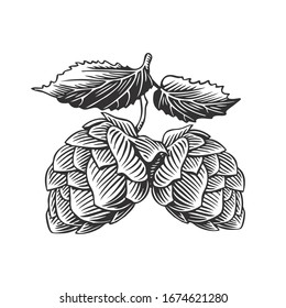 Hop cones and leaves, isolated on white. Vintage engraving style vector illustration.