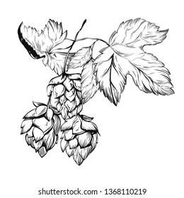 Hop Graphic. Oktoberfest. Green hop cones for making beer. Sketches of hop plant, hop on a branch with leaves in engraving style. illustration for packing.Hand drawn set. Humulus lupulus branch.