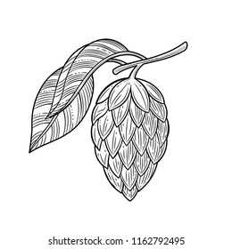 Hop herb plant. Templates for design shops, restaurants, markets, for labels and packaging. Vector illustration. The isolated image on a white background. Vintage style.