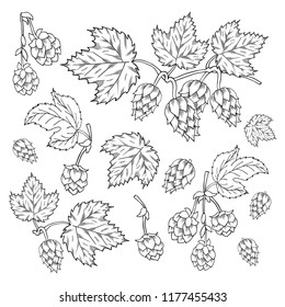 Hop plant with leaves on branch sketches. Engraving style. Beer ingredients. Vector isolated illustration.