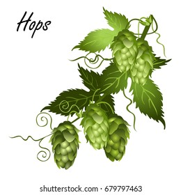 Hop vine (Humulus lupulus) with leaves and seed cones. Hand drawn vector illustration isolated on white background.