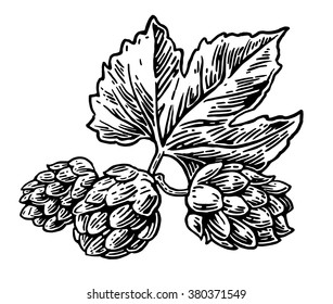 Hops herb plant which is used in the brewery of beer. For labels and packaging. Engraving vintage vector black illustration. Isolated on white background. Hand drawn design element for label