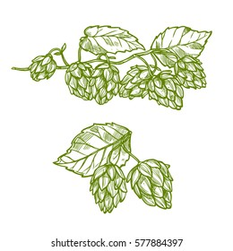 Hops plant isolated sketch. Green branches of hop with flower cone and leaves. Beer and herbal tea drinks label or food packaging design
