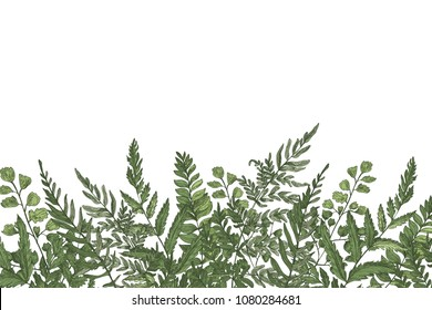Horizontal background with beautiful ferns, wild herbs or green herbaceous plants growing at bottom edge on white background. Herbal backdrop or border. Beautiful realistic vector illustration
