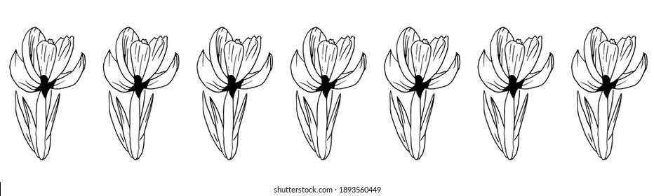 Horizontal border of spring crocus flowers. Vector frieze of spring flowers, drawn by hand. Crocuses are isolated on a white background