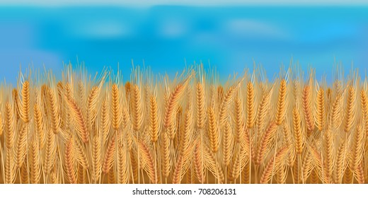 Horizontal seamless barley field with the blue sky / Realistic vector barley field in the harvesting time