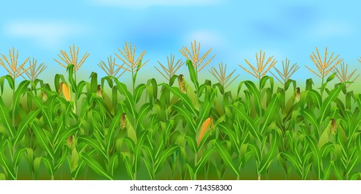 Horizontal seamless corn field with the blue sky / Realistic vector corn field in the harvesting time
