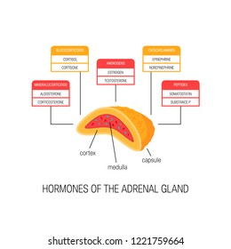 Hormones of the adrenal gland. Vector diagram in flat style. Medical illustration of endocrine organs