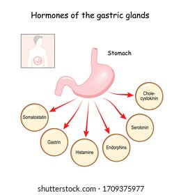 Hormones of the gastric glands (cholecystokinin, serotonin, endorphins, histamine, gastrin, somatostatin). Stomach. Human endocrine system. Vector illustration for medical, education and science use.