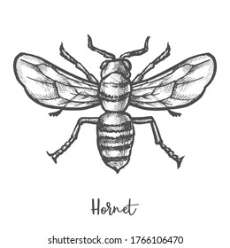 Hornet sketch vector illustration. Vintage drawing of giant or mandarinia wasp. Wildlife bee mascot. Danger bug or cartoon insect. Striped vespa. Biology and animal, fauna and entomology theme