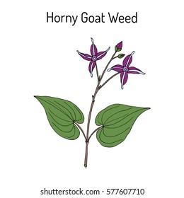Horny Goat Weed (Epimedium sagittatum), medicinal plant. Hand drawn botanical vector illustration