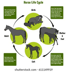 Horse Life Cycle Diagram with all stages including birth mother and foal colt and adult simple useful chart for biology science education