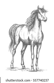 Horse mustang or young foal vector sketch. Wild or farm proud stallion standing on ground with lifted head. Symbol for equestrian racing sport, horse riding races club or equine exhibition