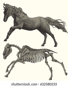 Horse skeleton. Design set. Hand drawn engraving. Vector vintage illustration. Isolated on white background. 8 EPS