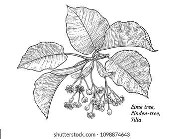 Horse-chestnut fruits and leaves illustration, drawing, engraving, ink, line art, vector