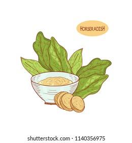 Horseradish. Sketch.Root, leaves, slice.