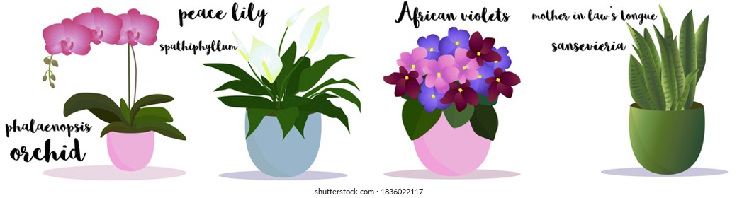 House plants set. Indoor garden flowers, collection of potted plants. With a text name Orchid Phalaenopsis, Peace Lilly, Spathiphyllum, Mother in Laws Tongue, Sansevieria, African violet. Elements.