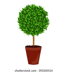 Houseplant: Myrtle. Myrtus, topiary tree. Potted plant isolated on white background.