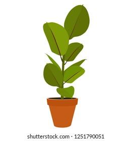 Houseplant - young Ficus elastica a potted plant isolated on white background