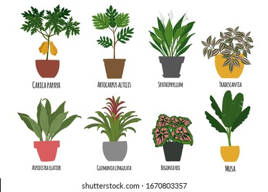 Houseplants. Tropical plants in pots. Exotic flowers. Papaya, Artocarpus altilis, Spathillum, Tradescantia, Begomia, Guzmania lingulata, Musa