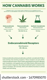 How Cannabis Works vertical infographic illustration about cannabis as herbal alternative medicine and chemical therapy, healthcare and medical science vector.