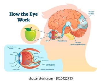optic nerve images, stock photos & vectors | shutterstock  shutterstock