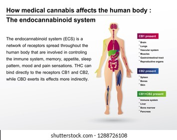 How medical cannabis affects the human body the endocannbinoid system is infographic background.