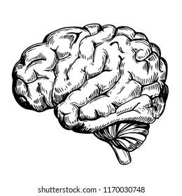 Human anatomy brain. Hand drawn sketch converted to vector