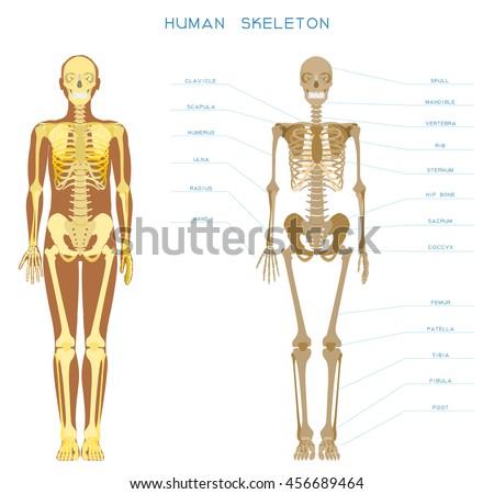 Human Anatomy Detailed Skeleton Fulllength Front Stock Vector ...