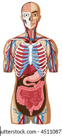 Human anatomy with different systems illustration
