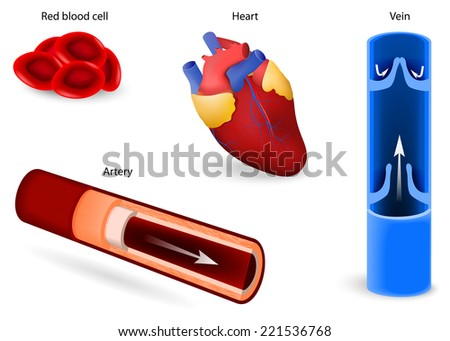 Human Anatomy Elements Circulatory System Red Stock Vector Royalty