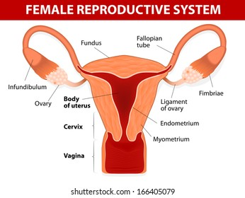 Female reproductive system images stock photos vectors shutterstock human anatomy female reproductive system uterus and uterine tubes vector diagram ccuart Images