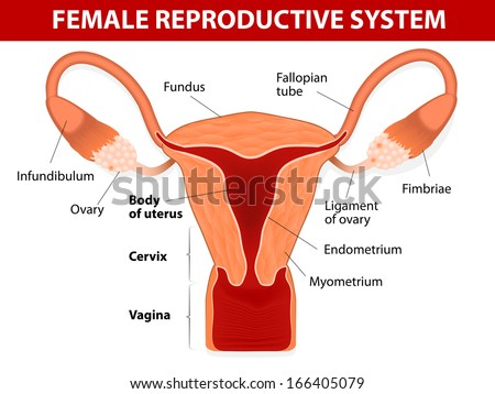 Human Anatomy Female Reproductive System Uterus Stock Vector