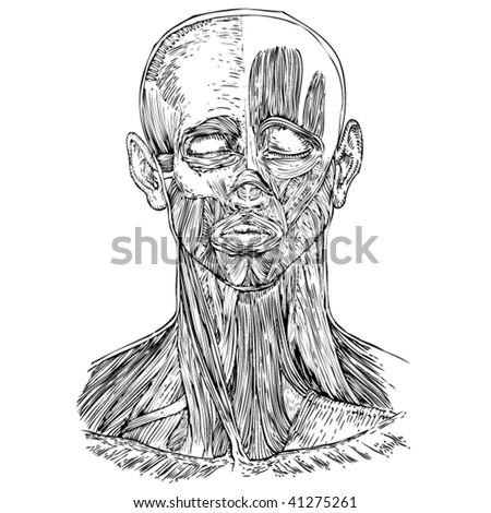Human Anatomy Head Neck Muscles Stock Vector (Royalty Free) 41275261 ...