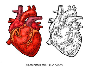 Human anatomy heart. Vector black and color vintage engraving illustration isolated on a white background. For web, poster, info graphic.