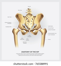 Human Anatomy of the Hip Vector Illustration