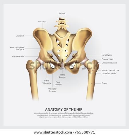 Human Anatomy Hip Vector Illustration Stock Vector (Royalty Free ...