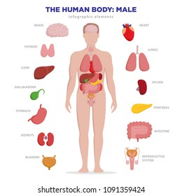 Human anatomy infographic elements with set of internal organs isolated on white background and placed in male body. Man reproductive organs with boy silhouette and icons around.