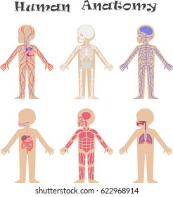 Human anatomy for kids. Circulatory, support, nervous, digestive, muscular and respiratory systems