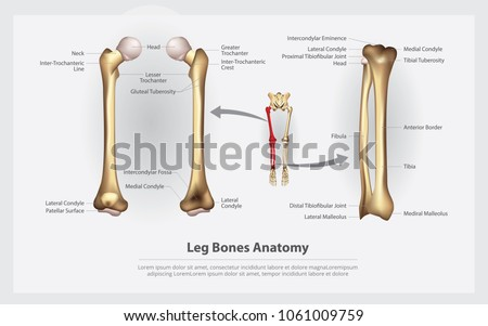 Human Anatomy Leg Bones Detail Vector Stock Vector Royalty Free
