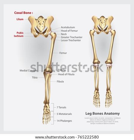 Human Anatomy Leg Bones Vector Illustration Stock Vector Royalty
