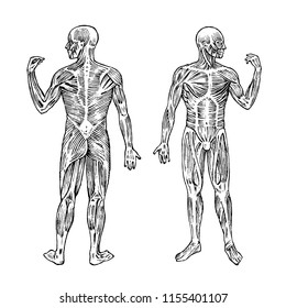 Human anatomy. Muscular and bone system. Male body Vector illustration for science, medicine and biology. Musculature Engraved hand drawn old monochrome Vintage sketch. Anterior and posterior view.