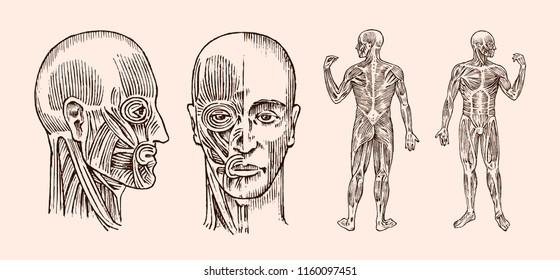 Human Muscle Images, Stock Photos & Vectors | Shutterstock