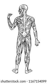 Human anatomy. Muscular and bone system. Male body Vector illustration for science, medicine and biology. Musculature and organs Engraved hand drawn old monochrome Vintage sketch. Posterior view.