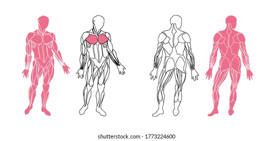Human anatomy musculature, front and back view with isolated muscles easy to ungroup and use. Vector illustration.